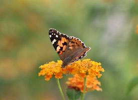 花朵上的蝴蝶特寫圖片欣賞
