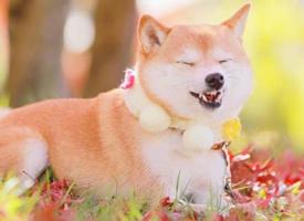 萌宠秋田犬可爱动物手机壁纸