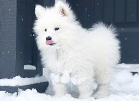 雪天和萨摩耶最配啦,毛茸茸的小天使
