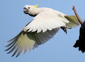 飞翔的小葵花凤头鹦鹉图片