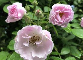 一组雨后的蔷薇花图片大全