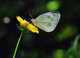 花朵上的菜粉蝶圖片欣賞