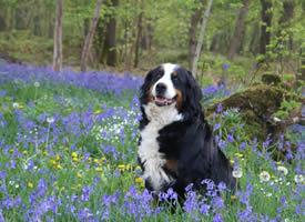 一组聪明可爱的伯恩山犬图片