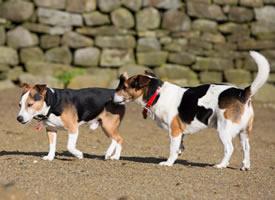 一组可爱的比格犬图片欣赏