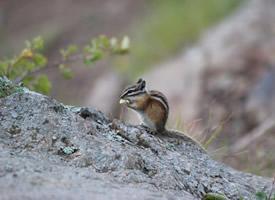 有一条又大又蓬松的大尾巴的花栗鼠