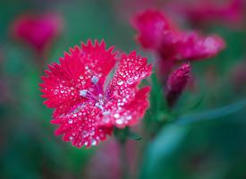 花瓣上还有很多露珠的石竹花图片