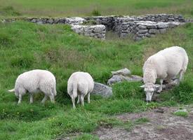 一组憨厚可爱的山羊图片欣赏