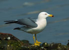 驻足在岩石上的海鸥图片欣赏