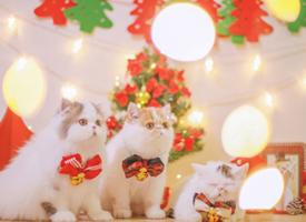 萌萌噠圣誕裝飾的小貓咪圖片欣賞
