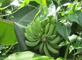树上还没成熟的香蕉图片欣赏