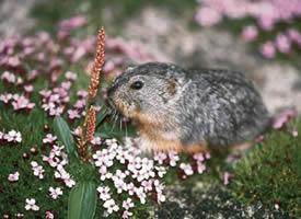 一组青青草地里的旅鼠图片欣赏