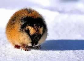 一组在雪地里的旅鼠图片欣赏