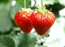 一組色澤鮮艷草莓圖片大全
