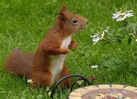 一組草地里紅褐色的小松鼠圖片