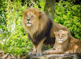一组气势汹汹的雄狮图片欣赏