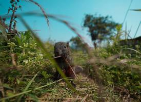 實拍叢林間的小松鼠覓食圖片