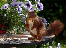 一組可愛活潑的紅褐色小松鼠圖片