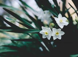漳州特产之一优雅的水仙花图片