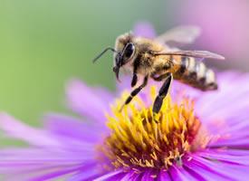 一组采花蜜的小蜜蜂图片壁纸