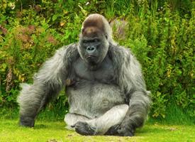 一组憨厚可爱的大猩猩图片欣赏