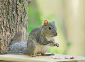 在吃堅果的可愛小松鼠圖片