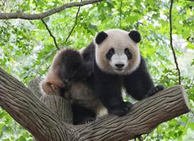 一组无敌可爱的大熊猫图片