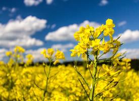 朴素自然的成片油菜花图片欣赏