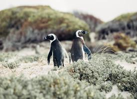 憨态可掬的小企鹅图片欣赏