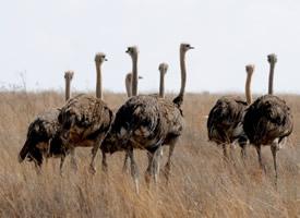 世界最大的鸟,鸵鸟图片