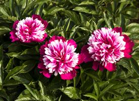 芍药花的形状和颜色图片大全