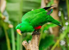 折衷鹦鹉又名红胁绿鹦鹉