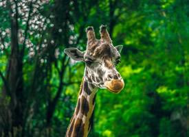 世界上最高的动物长颈鹿头部图片