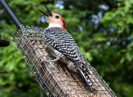 森林医生啄木鸟图片