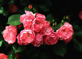 一组花团锦簇的蔷薇花图片