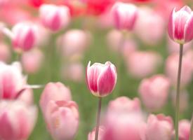 粉色郁金香唯美图片桌面壁纸