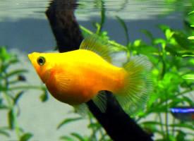 可爱的玛丽鱼图片