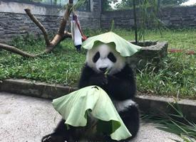 熊猫玩荷叶的可爱图片欣赏