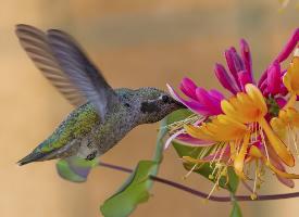 娇小可爱的蜂鸟图片