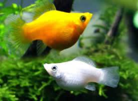金玛丽鱼图片