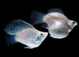 一组玛丽鱼图片欣赏