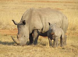 一组体型壮大的犀牛图片