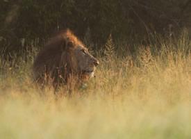 一组威猛的狮子图片欣赏