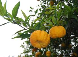 橙黄色的黄柑橘图片欣赏