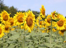 一组金黄色的向日葵图片欣赏