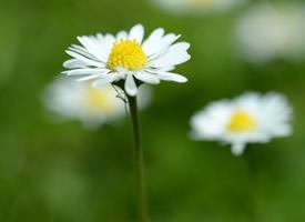一组高清白色小雏菊图片欣赏