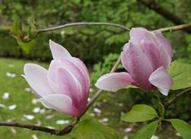 一组粉色唯美的玉兰花图片欣赏
