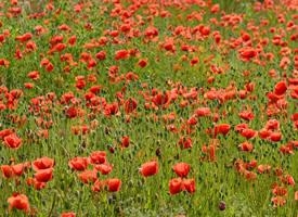 大片的高清罂粟花图片欣赏