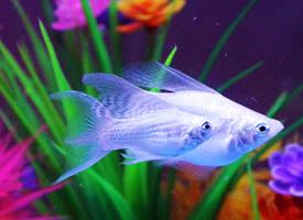 白色玛丽鱼图片