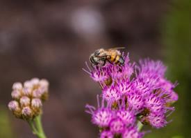 正在采蜜的蜜蜂图片欣赏