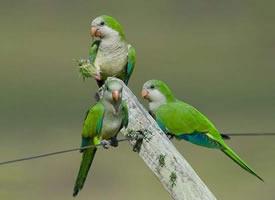 一组可爱的和尚鹦鹉图片